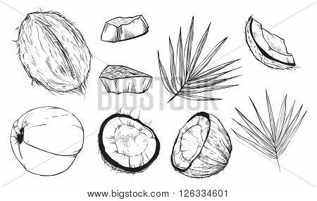 Coconut on white background. Coconut leaves. Engraved raster illustration of leaves and fruits of coconut. Isolated coconut.