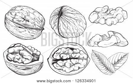 Walnut on white background. walnut seeds. Engraved raster illustration of leaves and nuts of walnut. Isolated walnut.