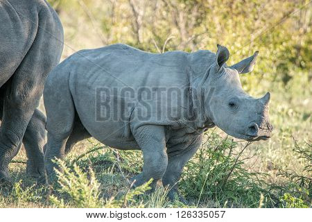 Baby White Rhino In The Kruger National Park.
