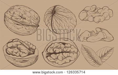 Walnut on light brown background. walnut seeds. Engraved raster illustration of leaves and nuts of walnut. Isolated walnut.