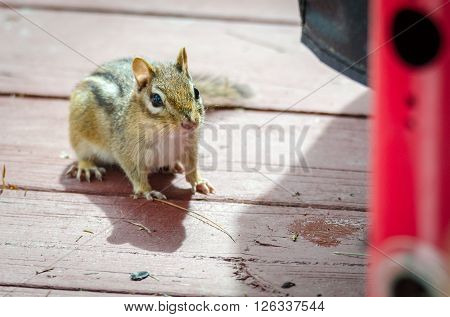 Chipmunk, smallest member of the squirrel family comes comes out of hiding, looking for peanuts on a deck in springtime in Eastern Ontario cottage country.