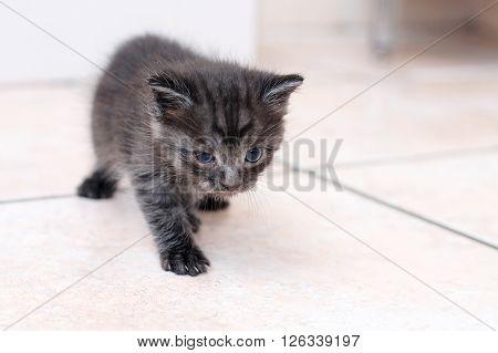 Black little newborn kitten walking forward on the floor