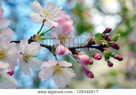 Rozkvétající ovocný strom na ja?e, bílé a r?žové kv?ty