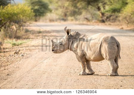 Baby White Rhino On The Road In The Kruger National Park.