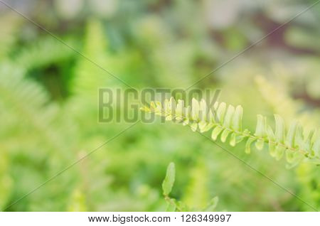 Closeup leaves of green fern with blur color filter Pteridophyta