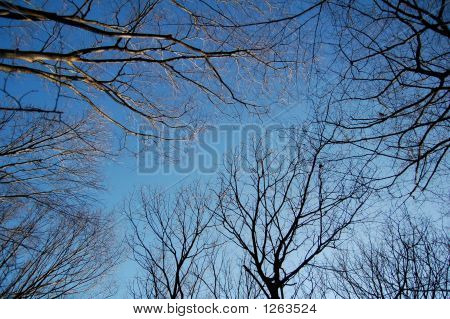 Winter Sky And Tree Branches