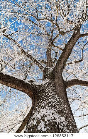 A snowy winter scene looking up at tall snow covered oak tree against a pretty blue sky.