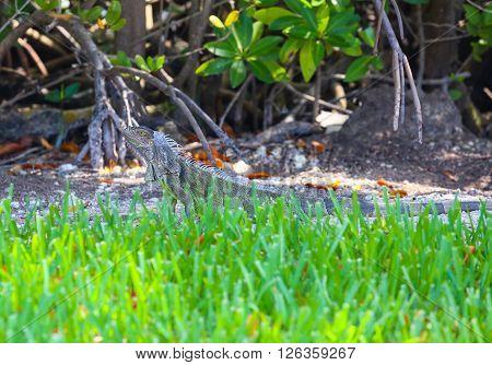 Green Iguana - Green Grass