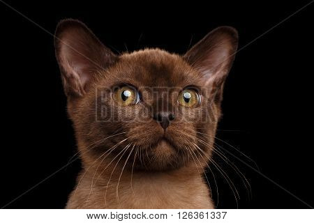 Closeup Portrait of Burmese kitten with Chocolate fur Curious Looking in Camera Isolated on black background