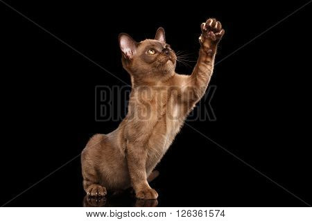 Cute Burmese kitten with Chocolate fur Sitting on Isolated black background and Raising up Paw