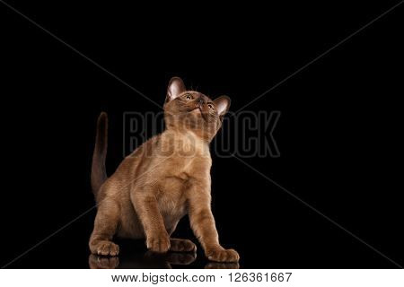 Cute Burmese kitten with Chocolate fur Sitting on Isolated black background and Curiously Looking up
