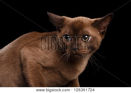 Closeup Burmese kitten with Chocolate fur on Isolated black background Looking back with Fear
