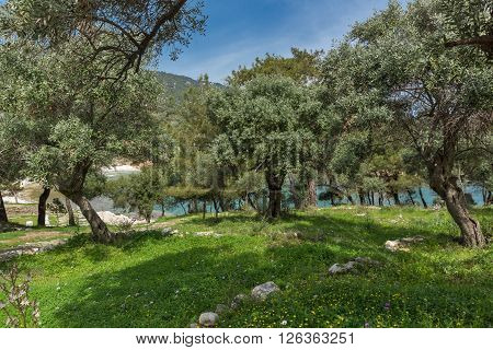 Olive trees in village of Aliki, Thassos island,  East Macedonia and Thrace, Greece