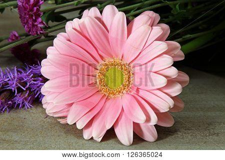 A closeup of a pink Gerber Daisy.