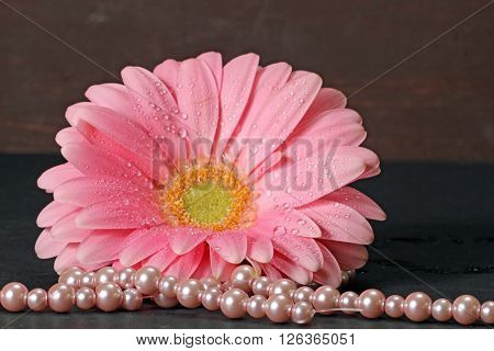 A wet pink Gerber Daisy with pearls on a dark background.