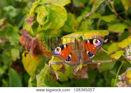 European Peacock butterfly sitting on a vine leaf in autumnal garden closeup