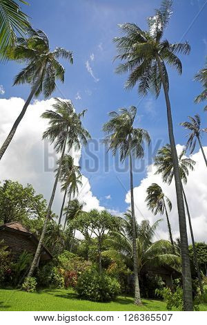 Tropical garden with coconut palm tree.