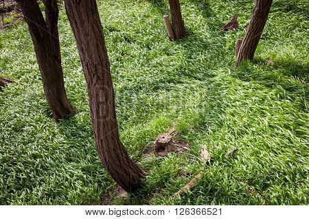 Ransom covering forest grounds between tree trunks