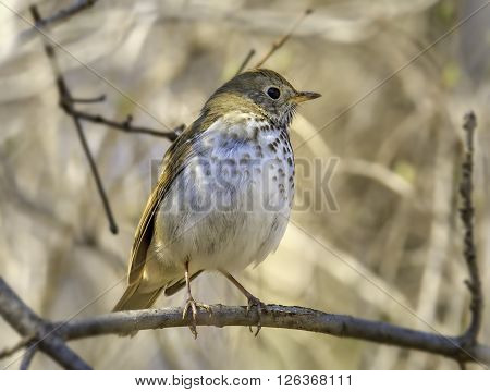 An early spring migrating Hermit Thrush perches on the low branches of a Wisconsin forest.