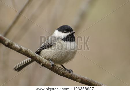 Chickadee on a branch in the woods of the Blue Ridge Mountains.