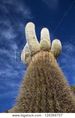 huge cactus on an islands salar de uyuni in bolivia