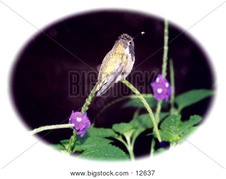 Hummingbird At Rest