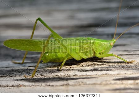 Young green grasshopper eats the leaves in the garden