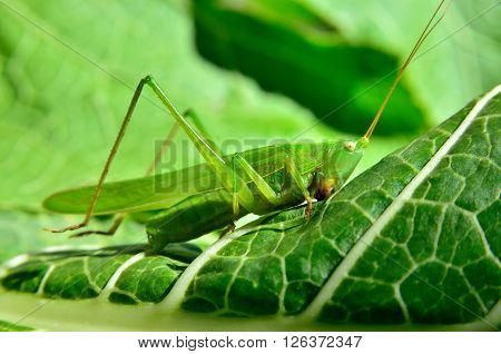 Young, Green Grasshopper Eats The Leaves In The Garden