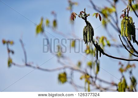 Walnut tree with blooming flowers in springtime with blue sky on background