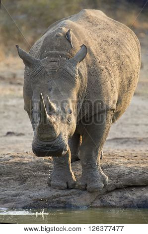 Lone white rhino bull standing at the edge of a lake to drink ** Note: Visible grain at 100%, best at smaller sizes