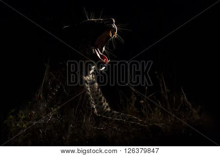 Leopard marks his territory on a tree in the darkness
