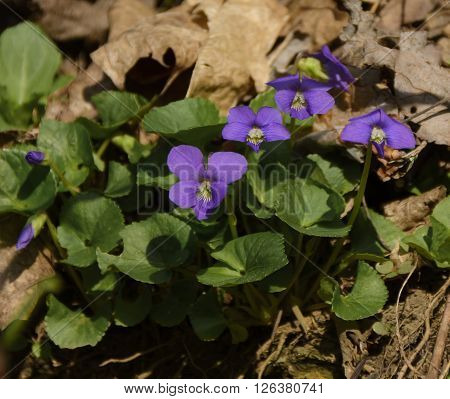 A Common Blue Violet (Viola sororia) blooming on a sunny hillside in Southern Pennsylvania during the spring.