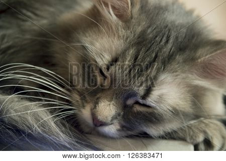 close-up of the grey domestic cat sleep
