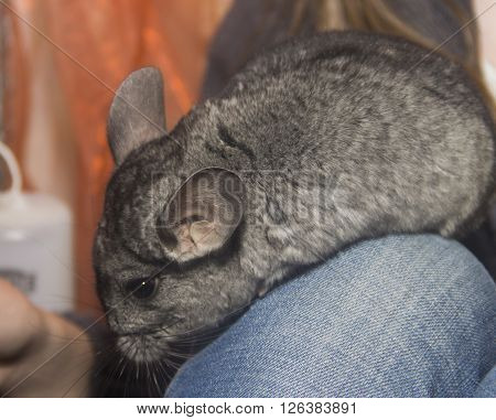 close-up the grey chinchilla on human leg