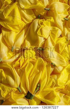 background cut yellow buds, wilted tulips, shot from above
