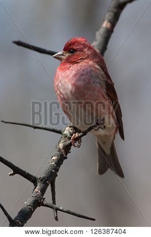 Purple Finch perched on a tree branch