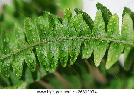Wet green fern in macro view, tropical