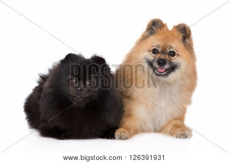 black and red spitz dogs posing together