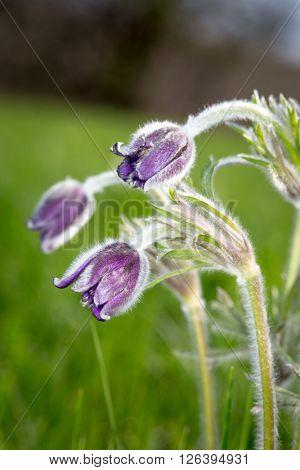 Nice pasque flowers on spring meadow