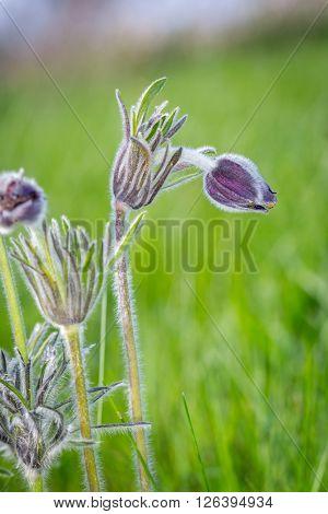 nice spring flower on green meadow