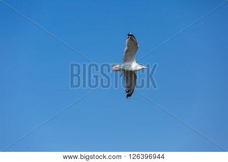 Seagull, Wild Bird
