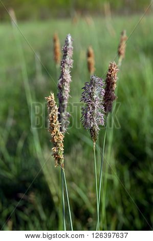 Timothy grass (Phleum pratensis) in the fields weed.