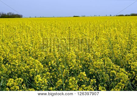 The rapeseed (Brassica napus) field yellow spring.