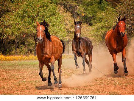 Three Arabian horses racing in the pasture, raising a cloud of dust