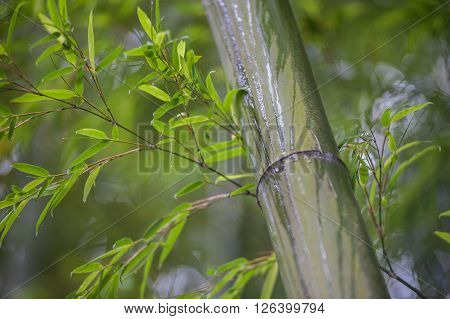 Green Bamboo Tree Trunks In  Grass