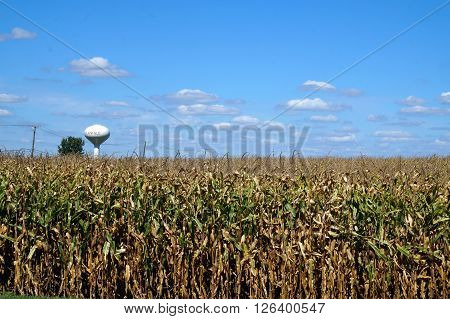 Corn grows in a cornfield in Plainfield, Illinois during September