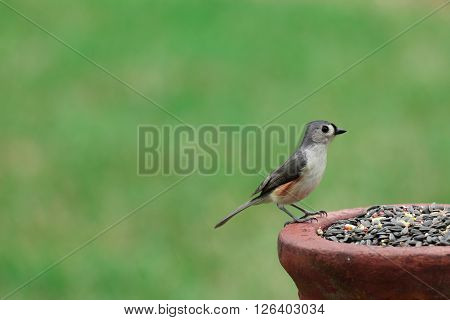 An alert Tufted Titmouse perched upon a bird feeder