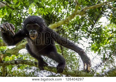 The Portrait Of Jumping Juvenile Bonobo On The Tree In Natural Habitat.