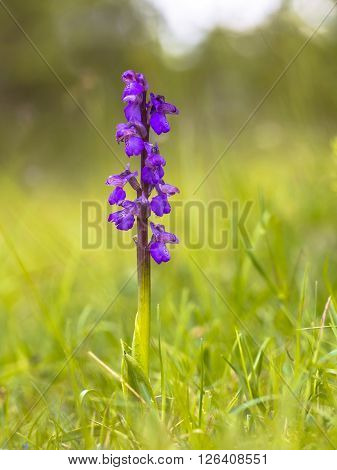Blooming Green-winged Orchid