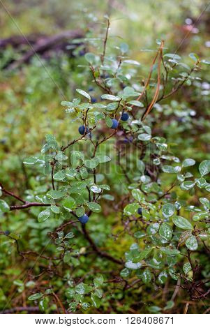Vaccinium myrtillus bilberry macro shot in Russia